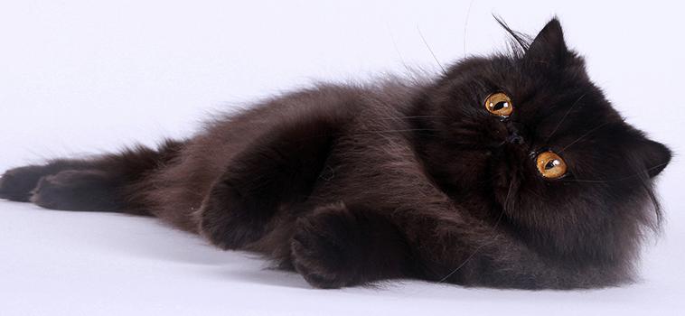 Comment les chats font-ils pour ronronner ?